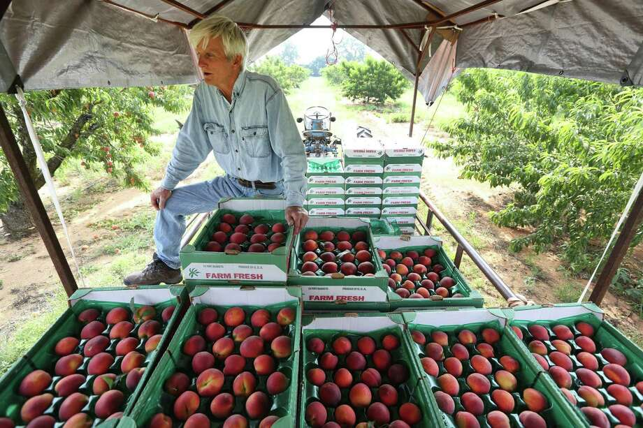 Russell Studebaker checks just-picked peaches Wednesday May 22, 2019 in his Studebaker Farms orchard east of Fredericksburg. Virtually all Hill Country peach producers are reporting abundant crops of quality peaches. Photo: William Luther, Staff / Staff Photographer / ©2019 San Antonio Express-News