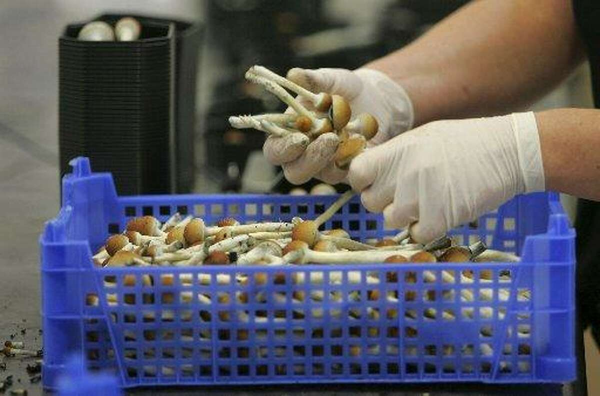 Hallucinogenic mushrooms are weighed and packaged at a farm in the Netherlands.