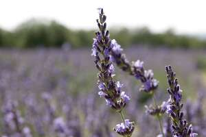 To celebrate the Texas Hill Country lavender season we're sharing everything you need to know about using the herb in your kitchen.