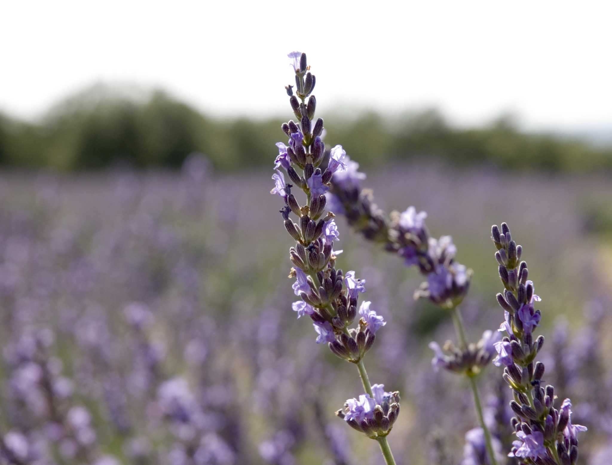 'Serene and beautiful' lavender, bluebonnet festival is happening in March near San Antonio