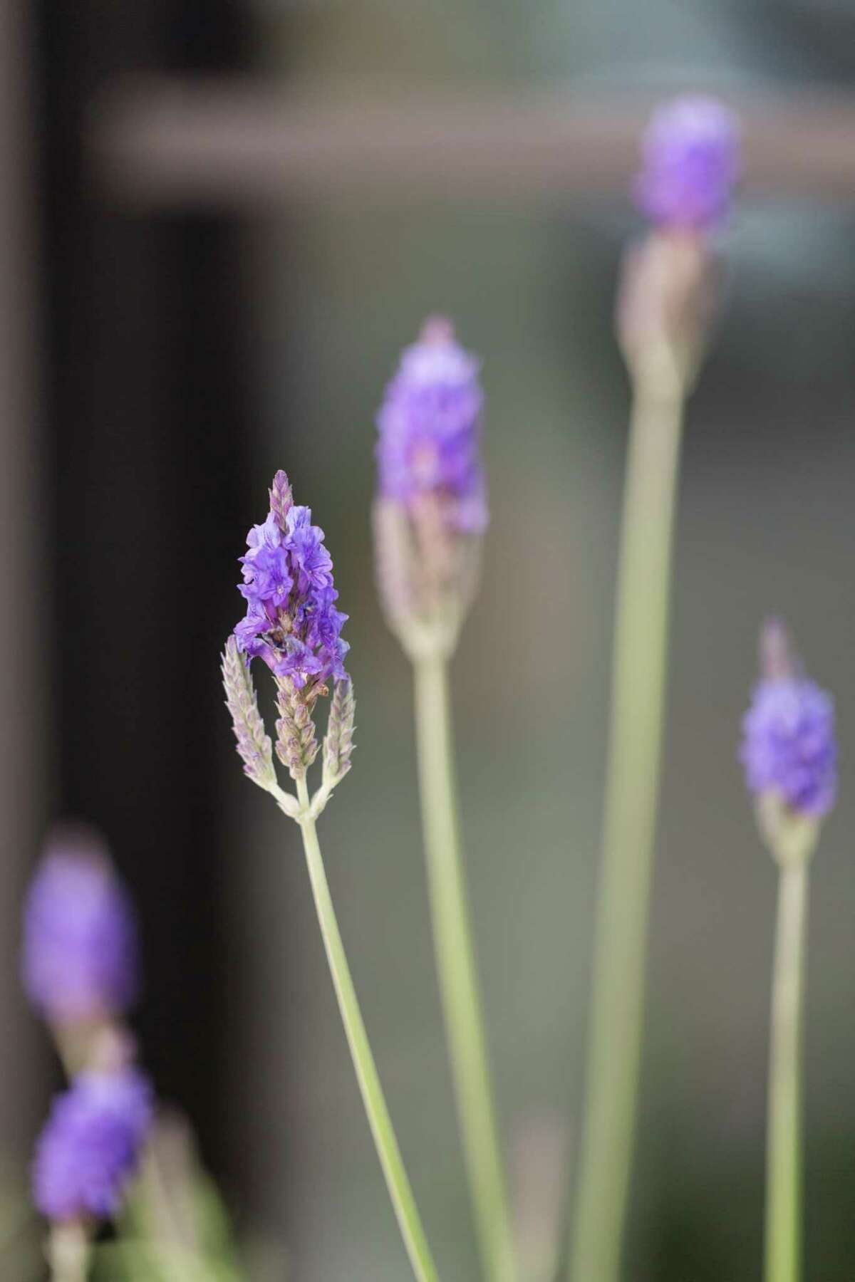 In Texas, lavender serves as a loved and economically important crop in the Hill Country.