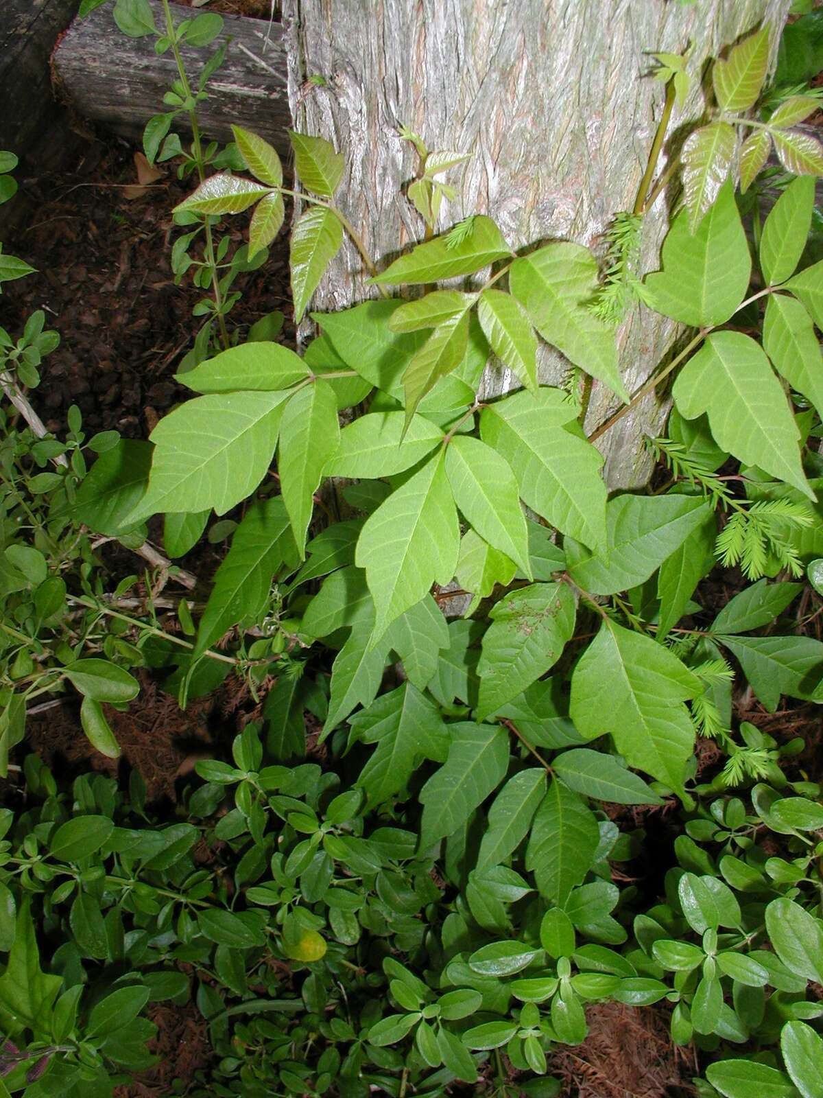Poison Ivy can grow almost anywhere. Here it is seen growing up the trunk of a Bald Cypress tree in my yard.