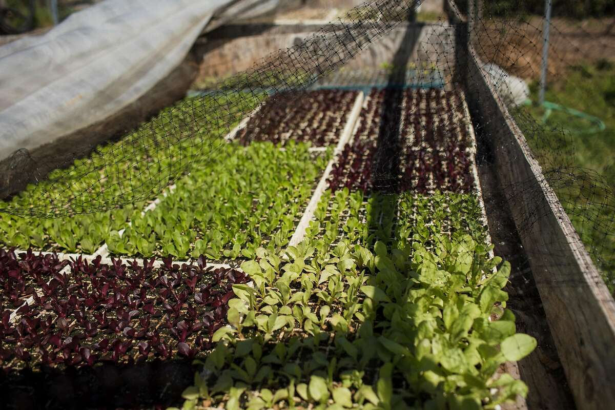 The propagation area at Shao Shan Farm where Chang-Fleeman grows little gem lettuce and Chinese stem lettuce in Bolias, Calif. on May 2, 2019.