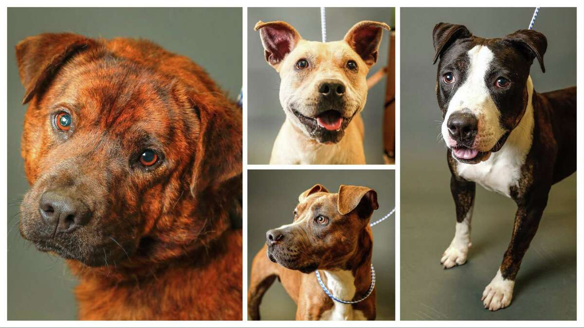 Dogs available for adoption at Fort Bend County Animal Services, in Rosenberg. Photographed Wednesday, May 29, 2019. Most of these animals are on the PUSH list, and will be euthanized June 2, if not adopted or fostered. All animals on the PUSH list are available for free until June 2.