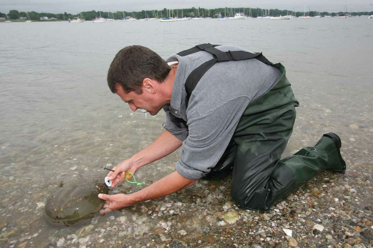 The public is invited to join Conservation Commission staff at Greenwich Point this Saturday from 9:30 to 11 a.m. to help count and tag horseshoe crabs. Meet at the Old Greenwich Yacht Club boat parking lot area.