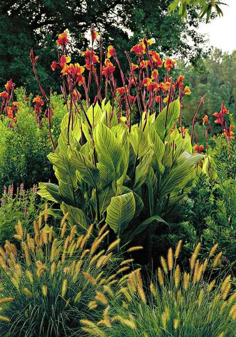 """Blossoms seem to flutter above the foliage of """"Bengal Tiger"""" canna."""
