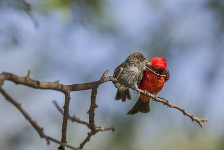 A male vermilion flycatcher feeds a damselfly to its chick. Adult birds feed their young but also make sure they learn how to forage on their own.