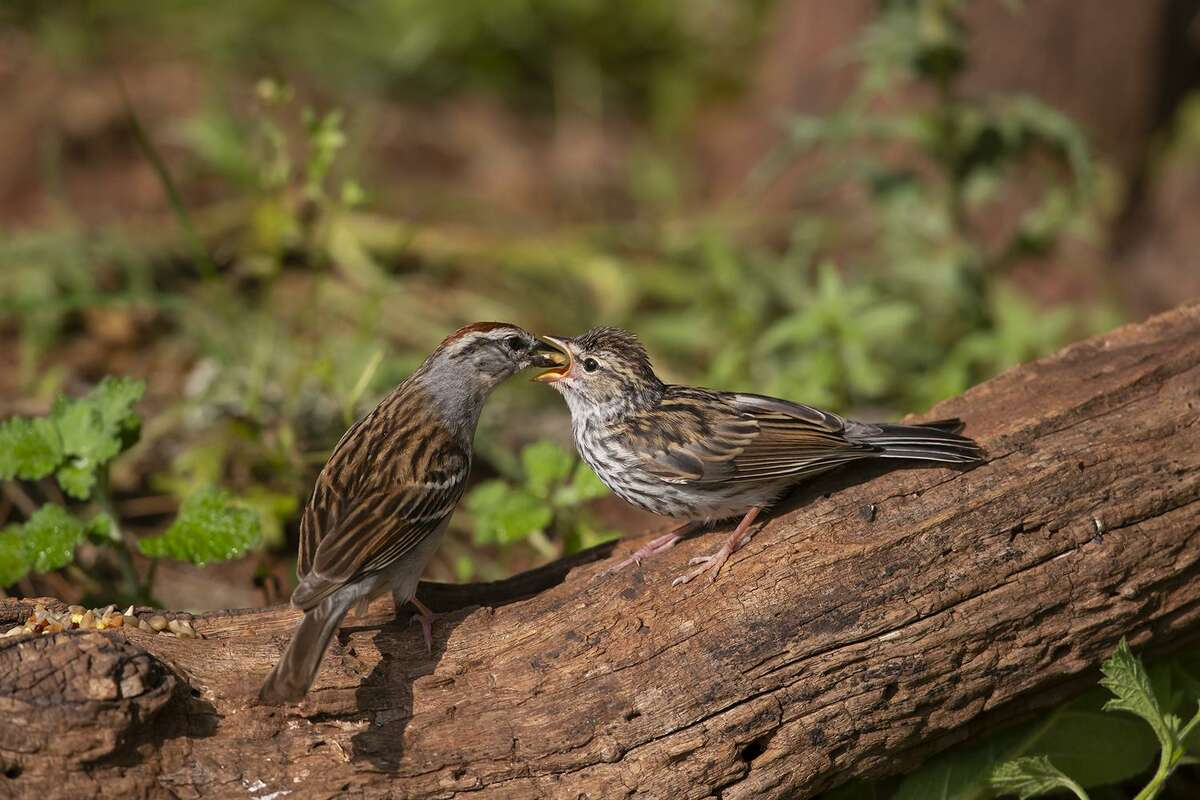 Bird parents, like this chipping sparrow in the Texas Hill Country, must teach their young how to forage on their own.