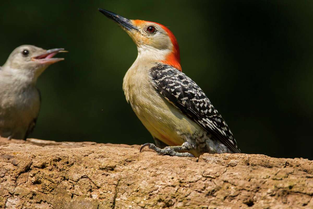 Don't confuse the red-bellied woodpecker, pictured here, with the flag bird.
