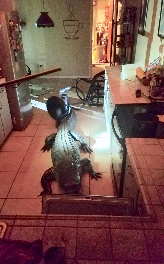 A Florida home was invaded by a curious house guest, May 31, 2019. Photo: Clearwater Police Department