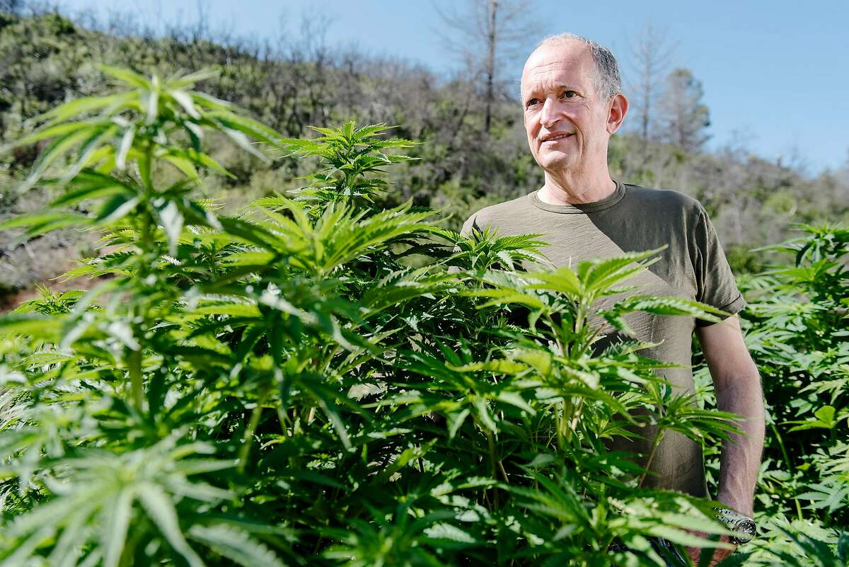 Eric Sklar, a Napa Valley Cannabis Association member and owner of Napa-based cannabis delivery company FumŽ, stands for a portrait among plants in a nursery at his company's cannabis farm in Middletown, Calif, on Thursday, May 30, 2019.