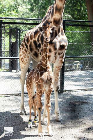 5c69ba37e46 Baby giraffe at Seattle's Woodland Park Zoo now shoe-free as rear ...
