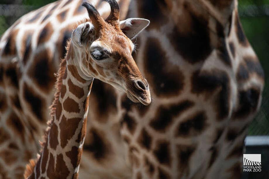 Hasani blends in with mom Olivia and aunt Tufani. Photo: John Loughlin/Woodland Park Zoo
