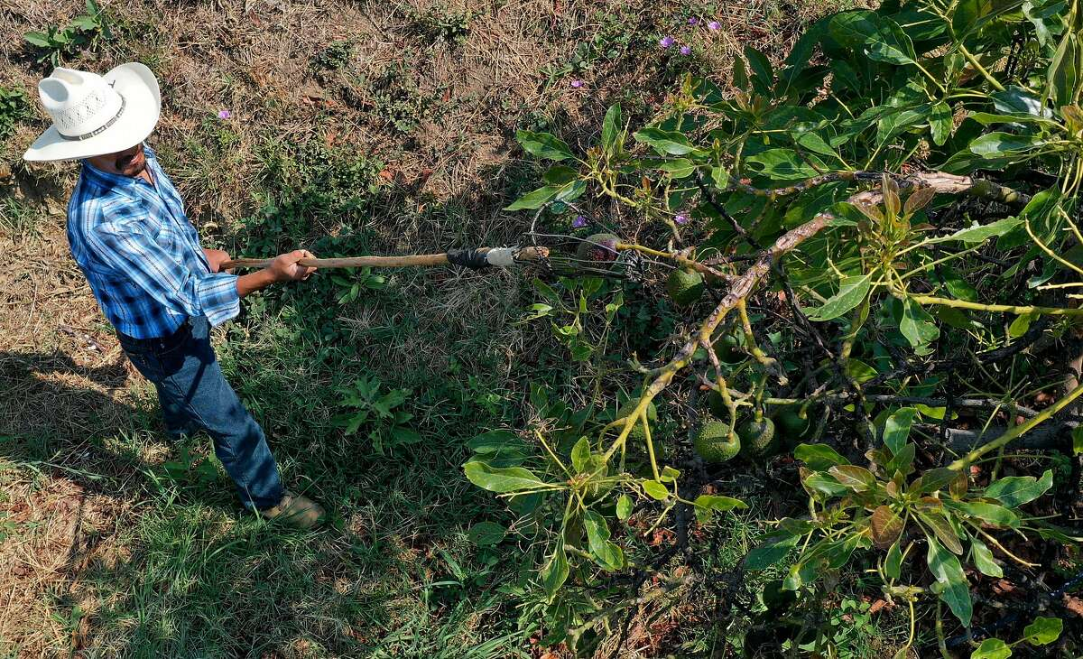 A farmer works at an avocado plantation in El Carmen ranch in the community of Tochimilco, Puebla State, Mexico, on April 5, 2019. - US President Donald Trump landed in California Friday to view newly built fencing on the Mexican border, even as he retreated from a threat to shut the frontier over what he says is an out-of-control influx of migrants and drugs. (Photo by Jose CASTANARES / AFP) (Photo credit should read JOSE CASTANARES/AFP/Getty Images)