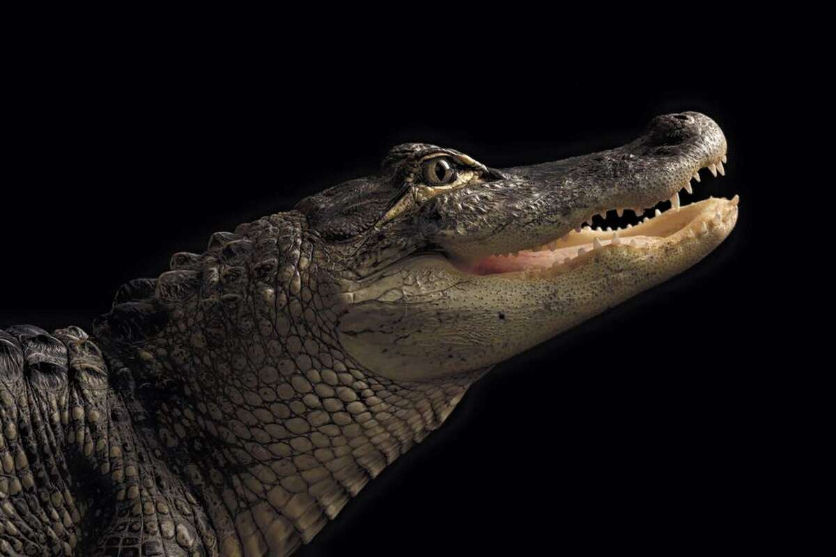 The Columbia County Sheriff's Office is searching for a 6-foot alligator that was reported stolen from a New Lebanon, N.Y., home on Saturday, May 25, 2019, deputies said.