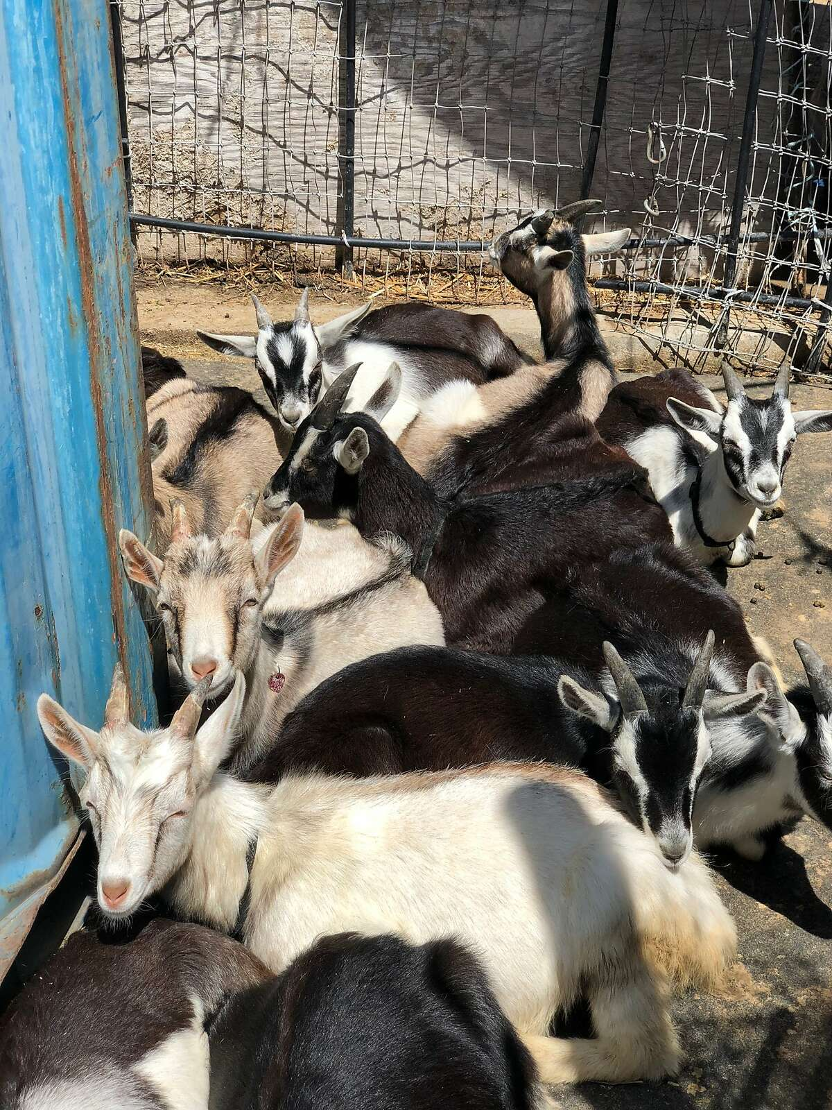 Several hard-working goats for City Grazing, a Bayview-based nonprofit that provides goat workers to clear hard-to-navigate spaces for city agencies, hospitals, and homeowners in San Francisco.