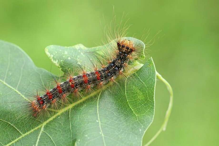 Gypsy moth caterpillars are an invasive species from Europe. With a high reproductive rate and no natural predators in Michigan, the population numbers can get out of control,defoliating and killingtrees and becoming a nuisance to residents. (Getty Images)