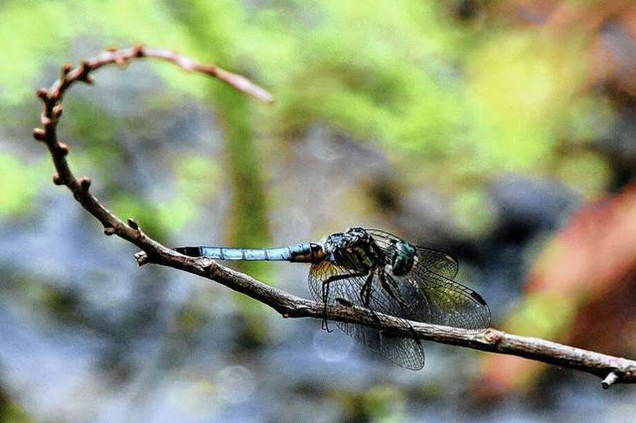 A dragonfly balances on a small tree branch.