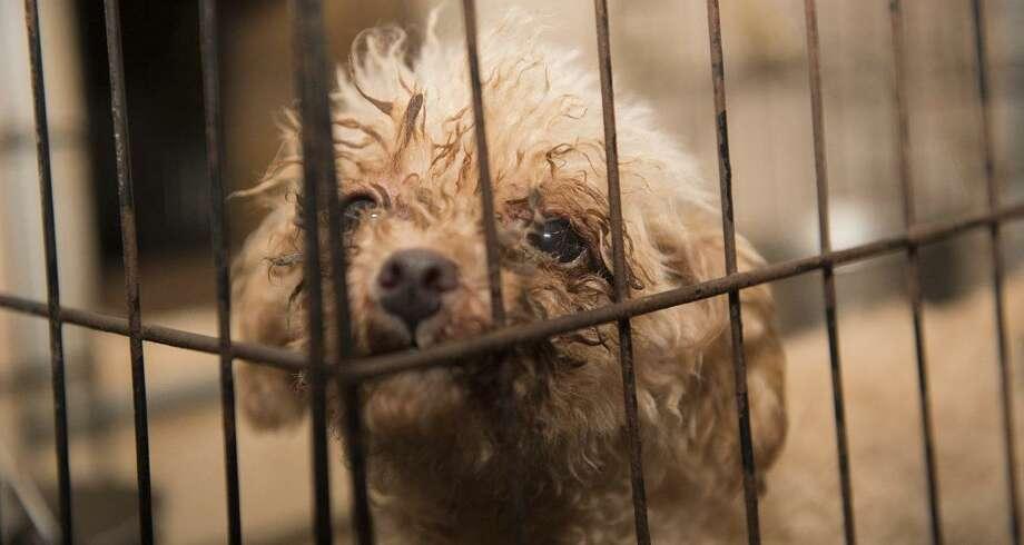 A puppy mill dog. Photo: Amie Chou / Connnecticut Mirror