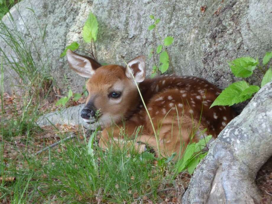 The state Department of Energy and Environmental Protection is warning people not to bother any deer fawns they might see unattended. Photo: Contributed / Connecticut Department Of Environmental Protection