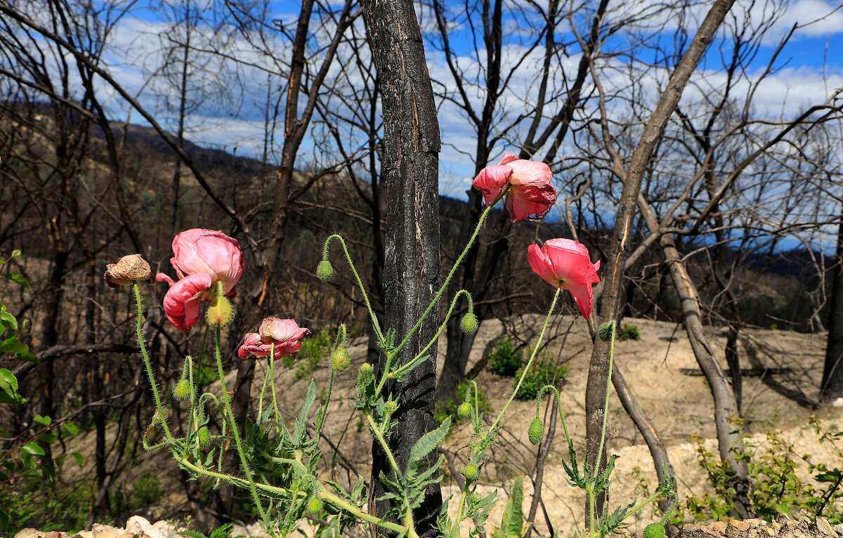 Life returns along the scarred landscape near Whiskeytown Lake after last year�s Carr Fire decimated the area, near Whiskeytown, Ca., as seen on Tuesday May 28, 2019.