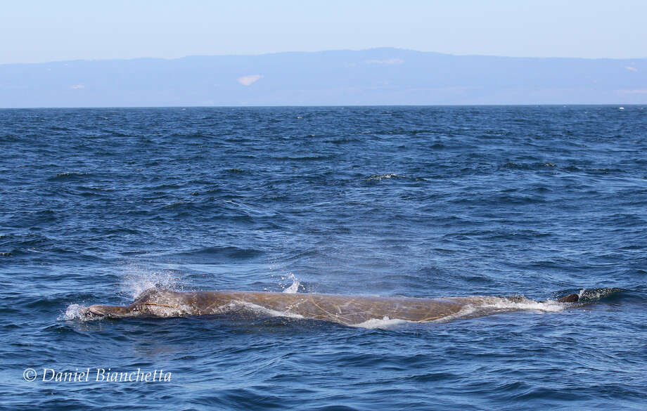 A Baird's beaked whale in Monterey Bay on May 29, 2019. This type of whale is rarely spotted in the area. Photo: Daniel Bianchetta / Monterey Bay Whale Watch