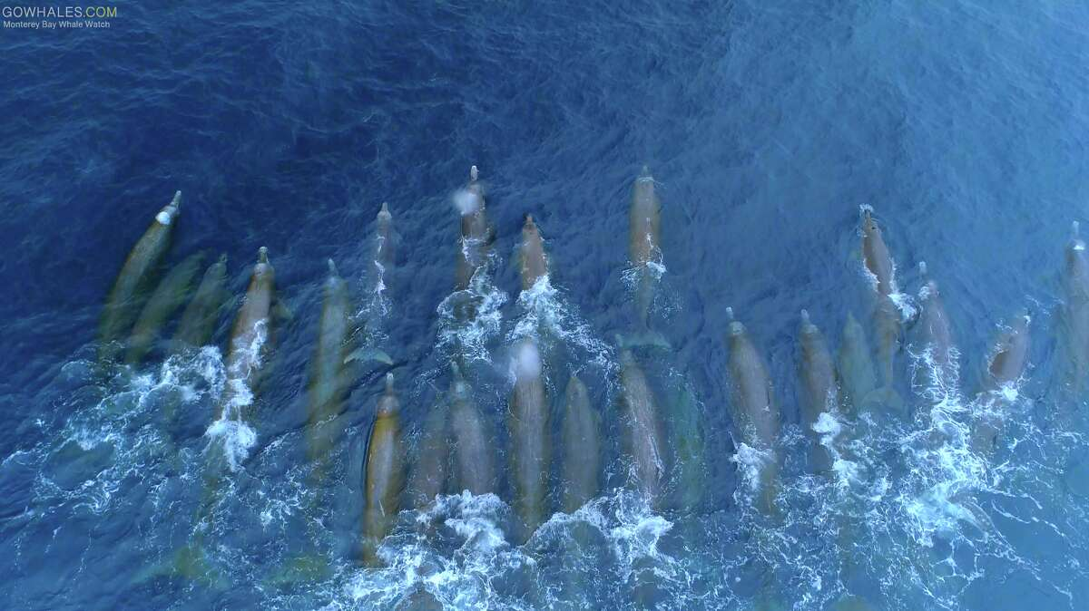 Baird's beaked whales seen by a drone overhead in Monterey Bay on May 29, 2019.