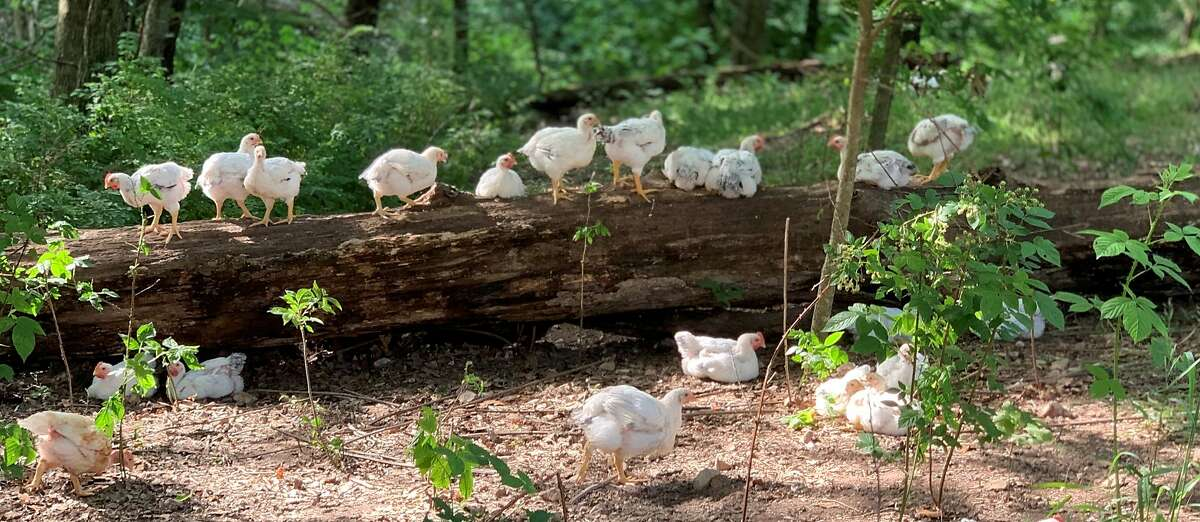 Chickens from Cooks Venture, an 800-acre farm in Arkansas.