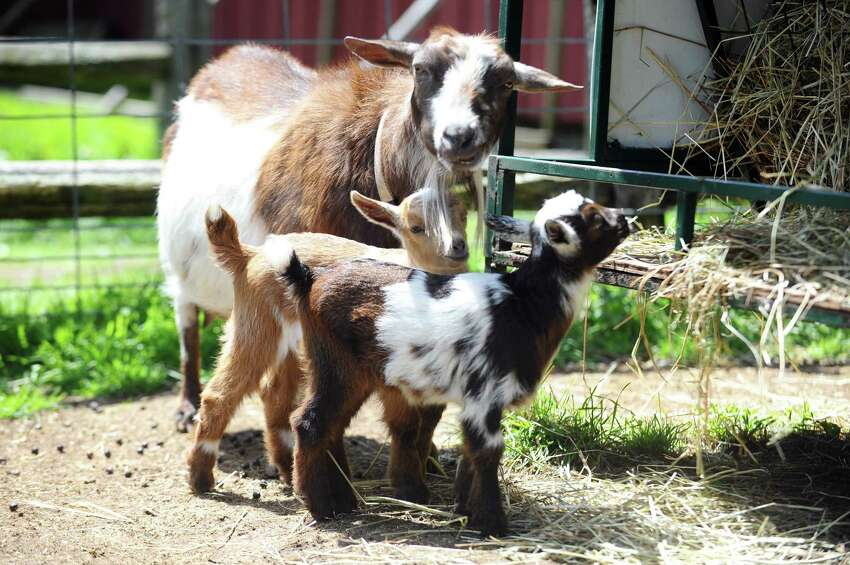 Have you ever dreamt of LARP-ing with goats? Now if your chance at the first-ever Goat Larp in Redding on Saturday. Find out more.