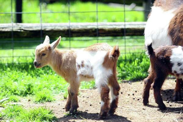File photo of goats in Stamford, Conn.