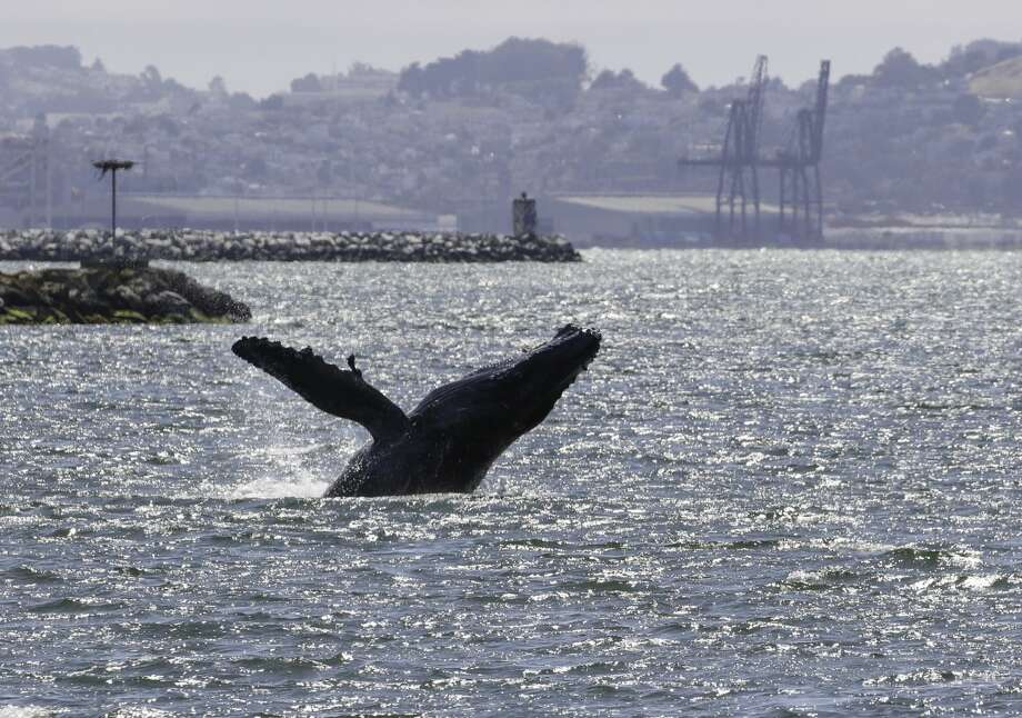 A humpback whale has been seen hanging out and feeding near Alameda in the last week of May and early June. Photo: The Marine Mammal Center / Bill Keener