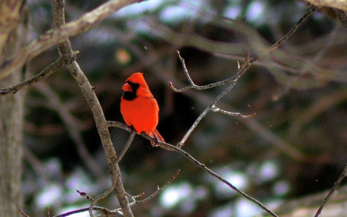A cardinal in the rain - Photo by Lisa Romanchick