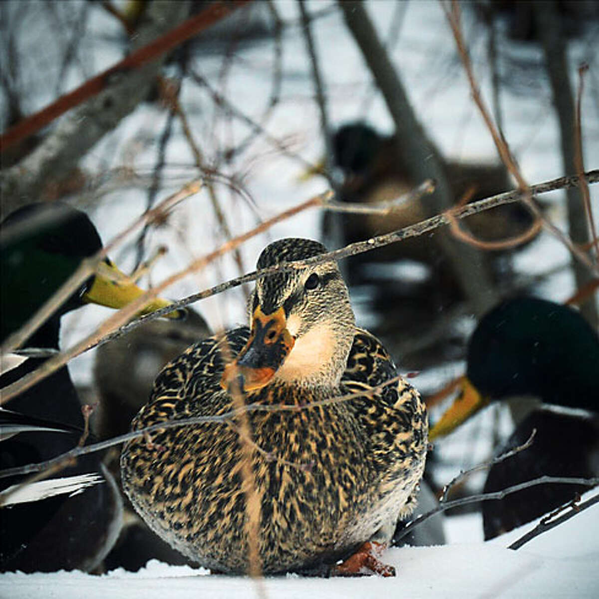 """Old Mine Park Ducks at a Low Angle by Luca Pietrangeli won first place in the """"Trumbull Wildlife in Winter"""" category."""