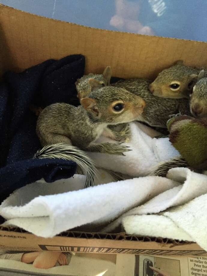 Rescued baby squirrels play with each other in a temporary home before being released back into the wild.