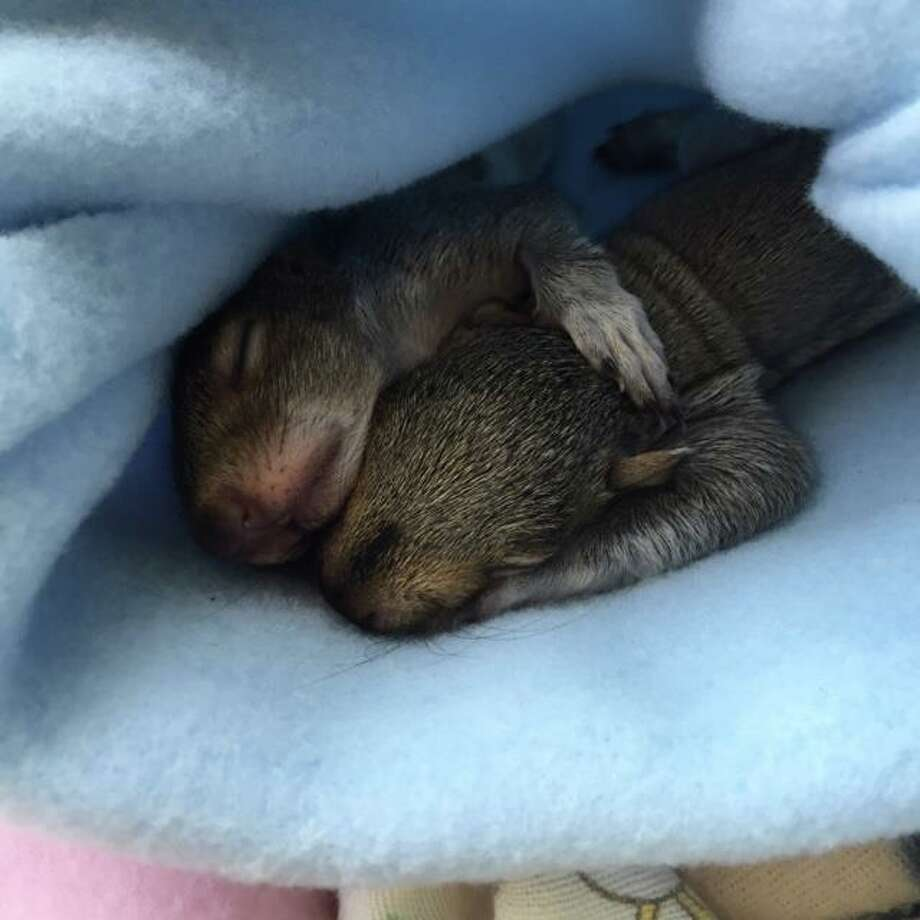 Two baby squirrels who were rescued over the weekend are doing very well and will be able to be released in approximately 12 weeks, according to Connecticut Wildlife Rehabilitator Allison Matula.