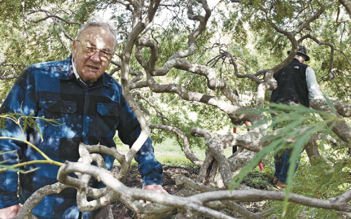 Warren Jacques and Dave Wilson (background) have been caring for a laceleaf maple tree in Twin Brooks Park for nearly 25 years.