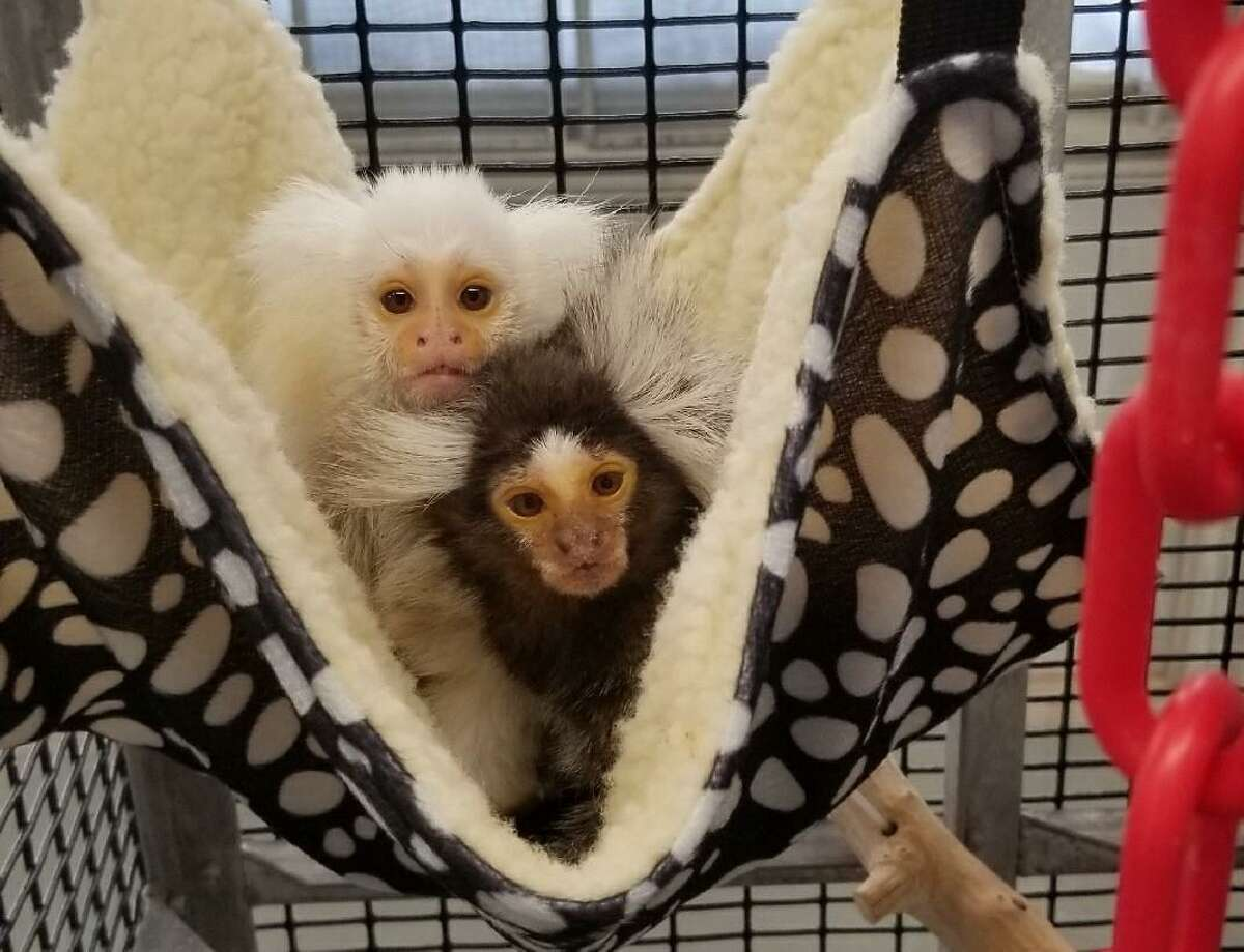 The study will involve marmosets at the Southwest National Primate Research Center, which is at Texas Biomed.