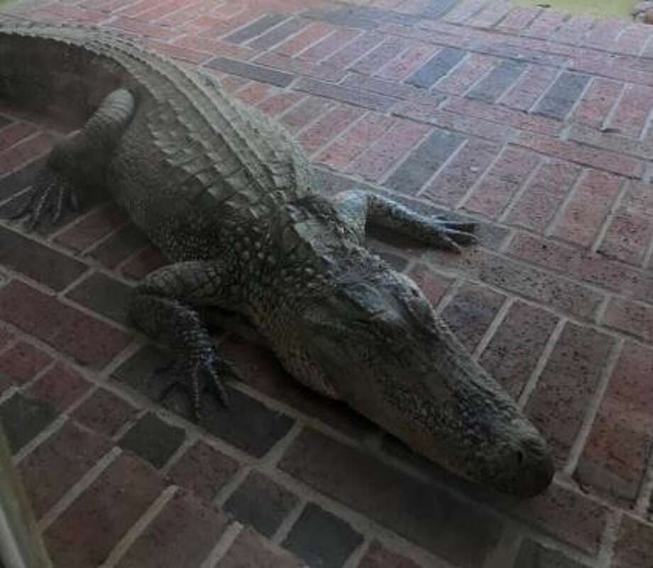 "The homeowner, Solorio-Pereira, thanked the Fort Bend deputies for their help with the ""daunting task"" of removing the gator from the home in a Facebook post. Photo: Fort Bend County Sheriff's Office"