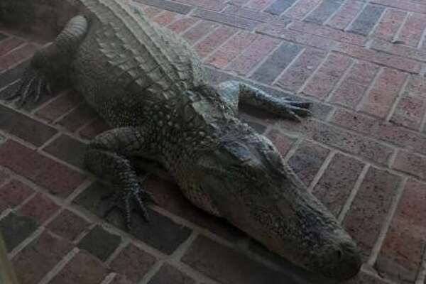 Large gator found on front porch of Katy home, FBCSO