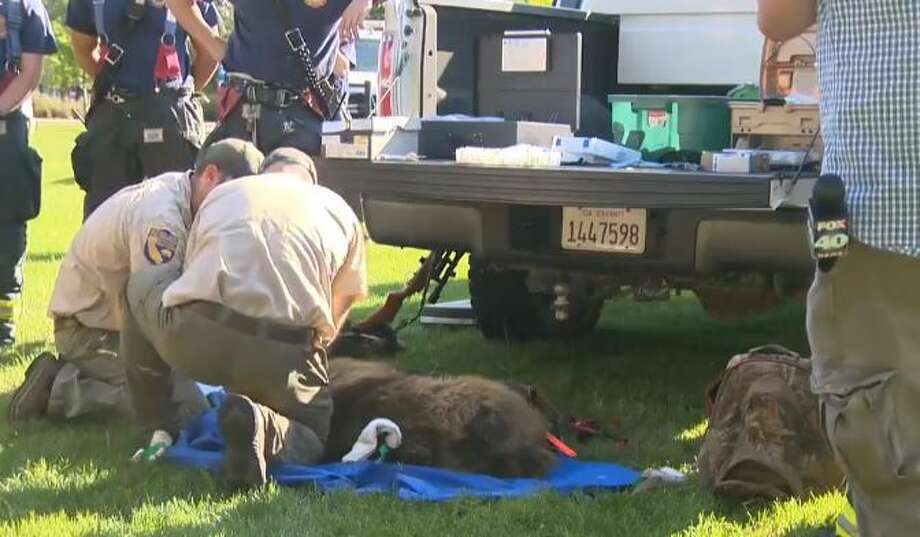 Animal control officials tend to a bear located on the UC Davis campus. Photo: KCRA