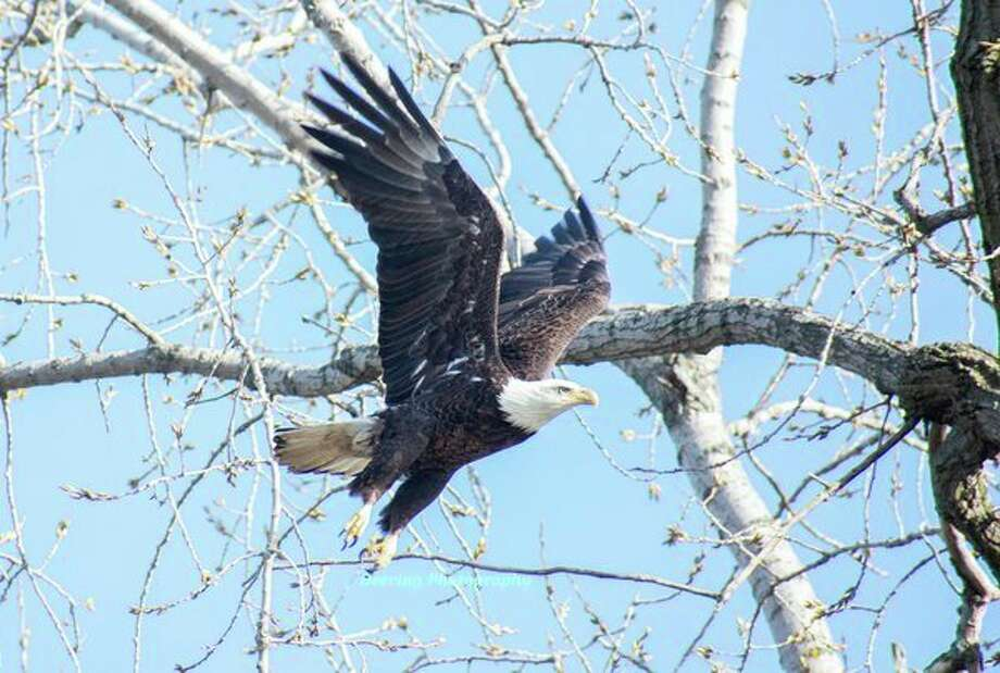 Gerald Deering captured this Bald Eagle from a kayak along the Cass River. He was able to float directly underneath and watch it look for fish. After a few minutes of watching, it decided to take flight. (Submitted Photo)