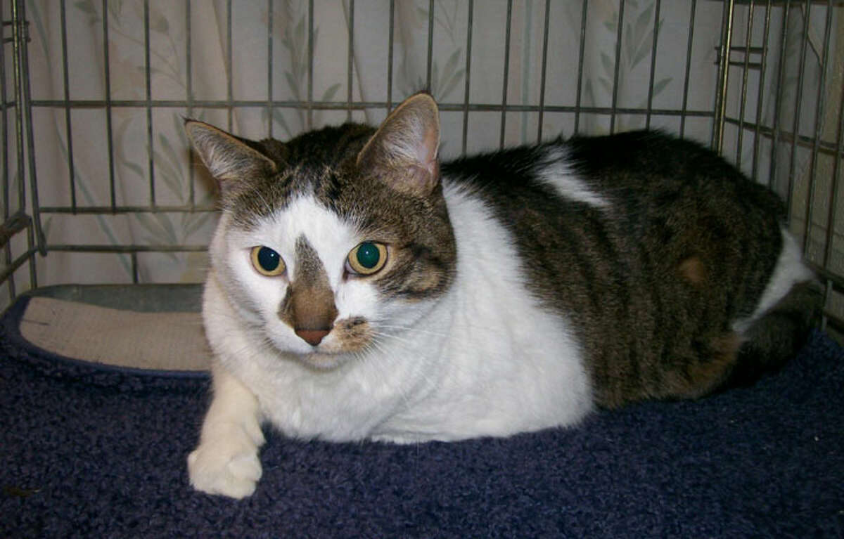 Jeter is a neutered male cat about 4-years-old. He is a real sweetheart and has lived with another cat and a dog.