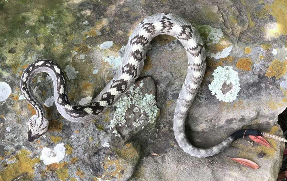 Expert Rare Black Tail Rattlesnake Found In Central Texas The Second Ever Recorded In The Area