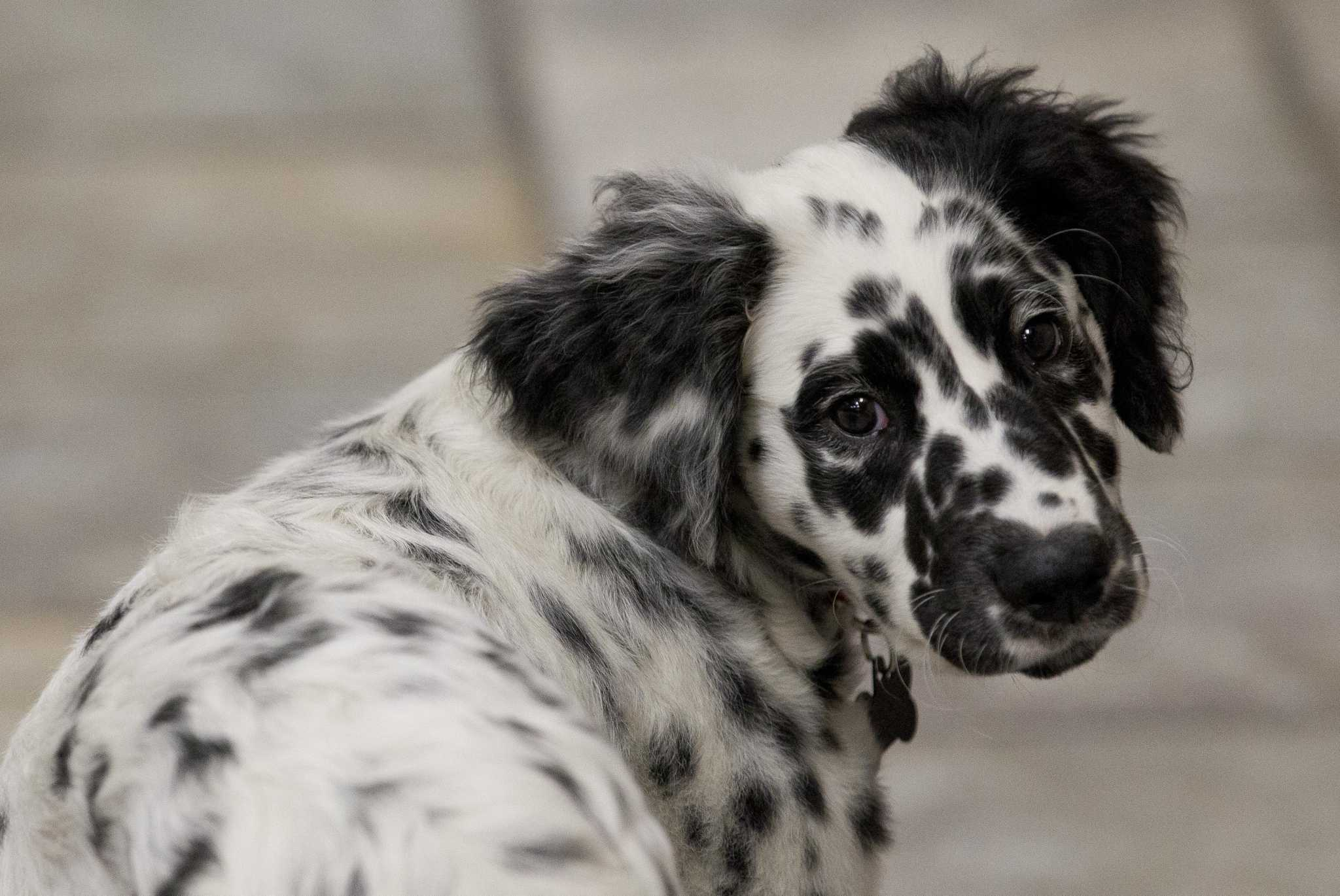 Canine Charm Dalmatian Brings Comfort Tradition To East Montgomery County Fire Department The Courier