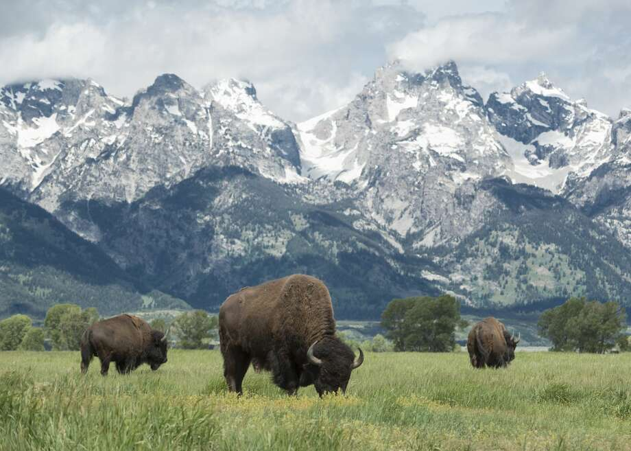 FILE — American buffalo or bison grazing on the plains in Grand Teton national park with the mountain range behind. Photo: JohnnyGreig/Getty Images