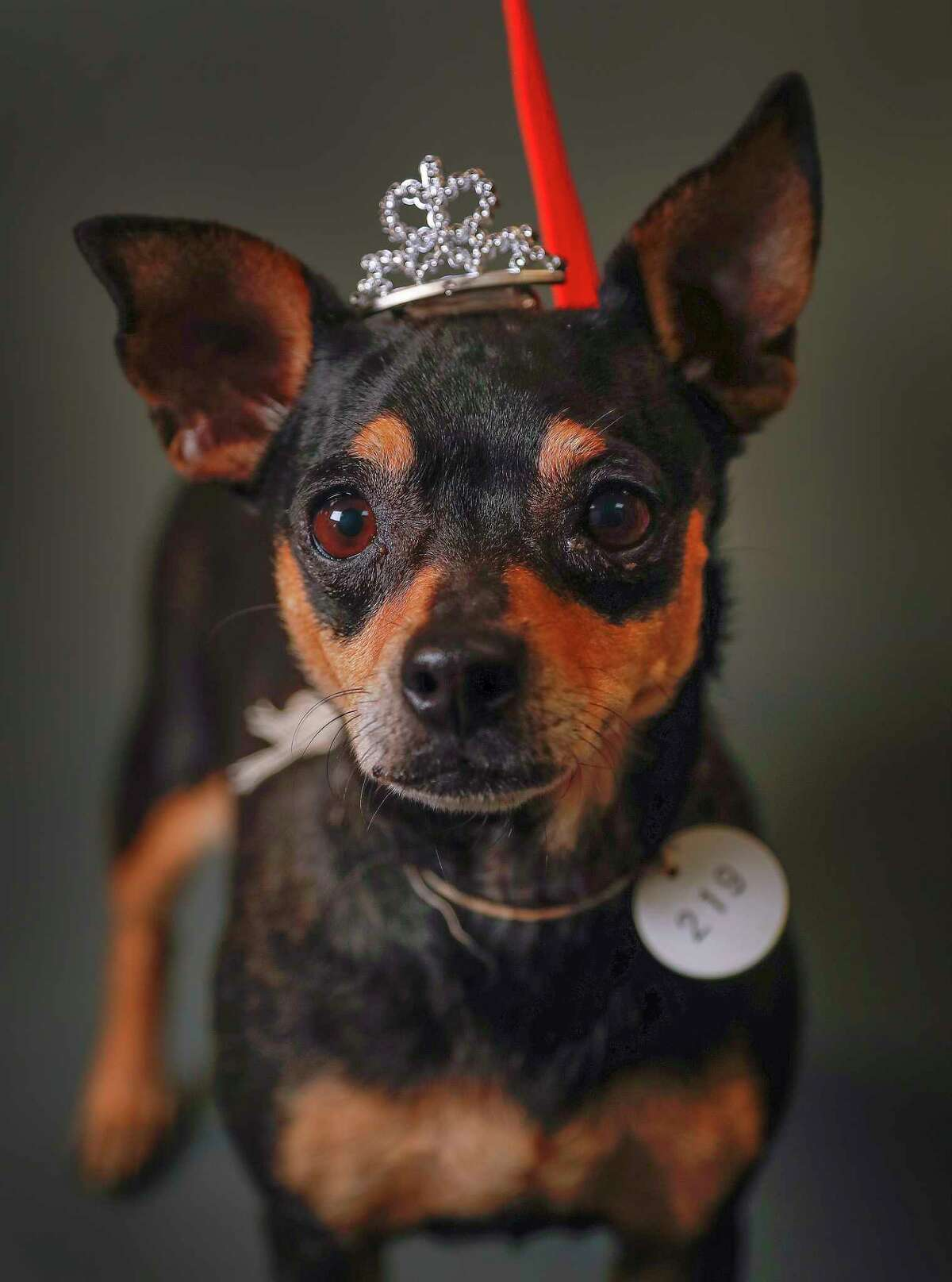Princess is a 6-year-old, female, Chihuahua mix available for adoption at the Harris County Animal Shelter, in Houston. (Animal ID: A534361) Photographed Tuesday June 4, 2019. Princess is a friendly, and sweet dog, who was brought to the shelter because her owners were moving.