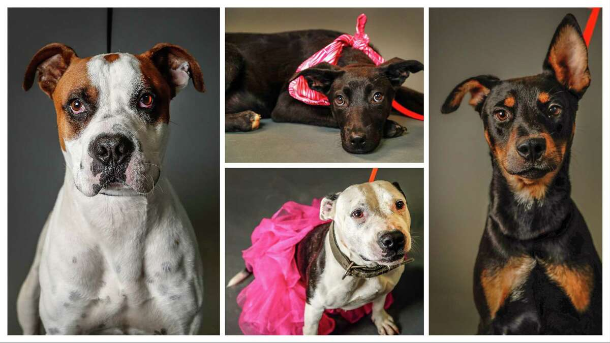 Left: Duke (A534276) is a 3-year-old, male, Boxer mix. Top Center: Esperanza (A534365) is a 4-month-old, female, Pointer mix. Low Center: Barbie (A534300) is a 5-year-old, female, American Pit Bull mix. Right: Dante (A533613) is a 6-month-old, male, Labrador Retriever mix. All avilable at the Harris County Animal Shelter. All dogs photographed Tuesday June 4, 2019, in Houston.