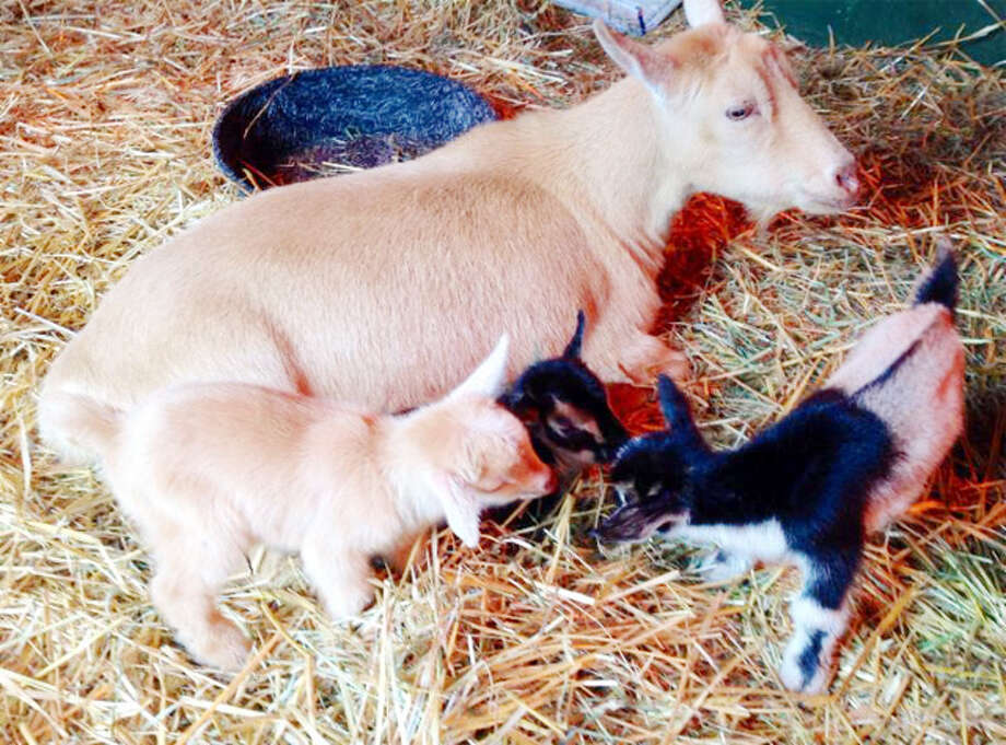 The three new baby goats (or kids) with their mother, Cupcake, at Connecticut's Beardsley Zoo.