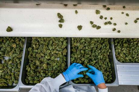 Brittney Moreno inspects cannabis for imperfections while sorting at the Flow Kana production center in Redwood Valley, California, on Wednesday, May 1, 2019. Photo: Gabrielle Lurie, The Chronicle