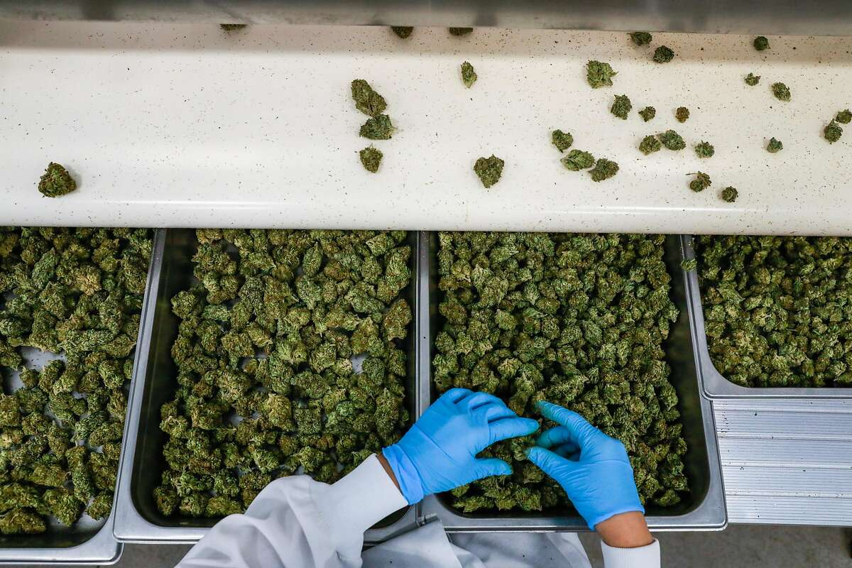 Brittney Moreno inspects cannabis for imperfections while sorting at the Flow Kana production center in Redwood Valley, California, on Wednesday, May 1, 2019.